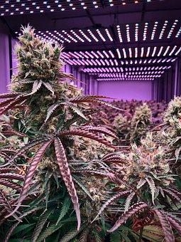 cannabis-3842166__340