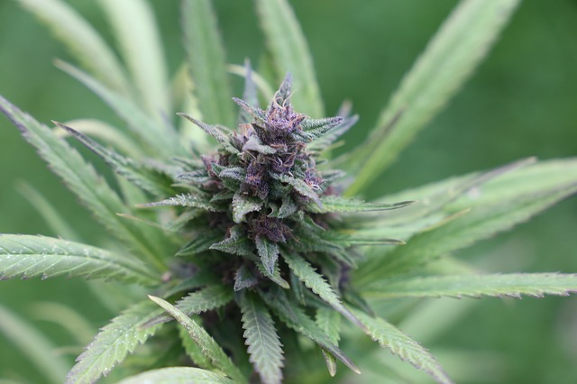 cannabis-3871901_640